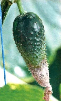 В теплице гниют растения