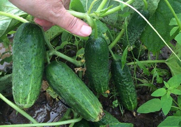 Отзывы садоводов