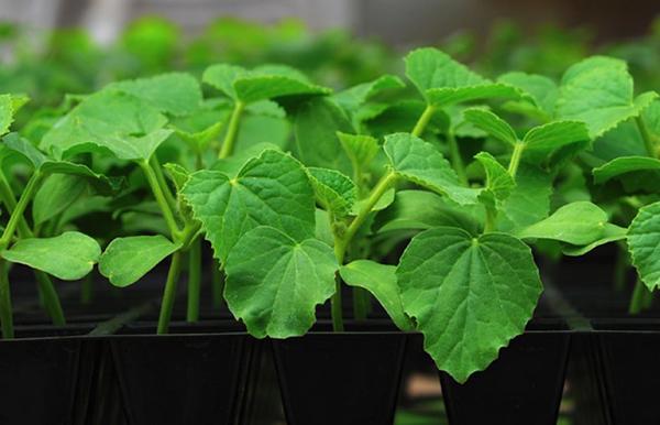 Как посадить огурцы на рассаду