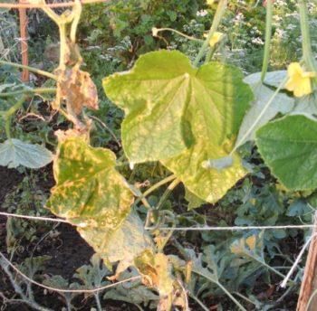 Постоянно вянут листья