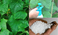 Как и чем подкармливать огурцы в теплице чтобы был хороший урожай