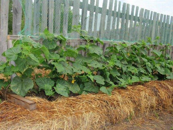 Особенности выращивания огурцов на теплых грядках