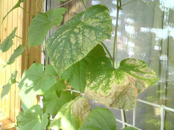 Желтеют листья у огурцов на подоконнике